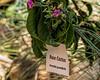 Plant ID label:  Rose cactus, Pereskia grandifolia