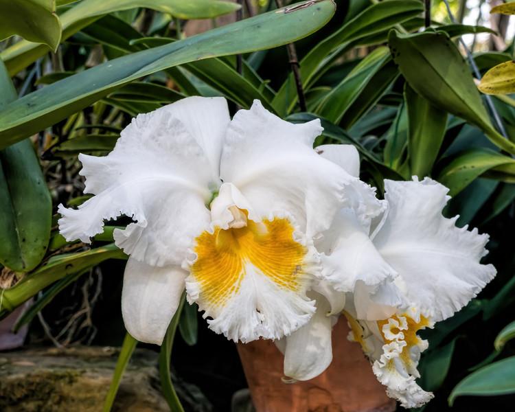 Cattleya hybrid orchid