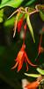 Fuchsia (?), filtered version
