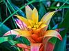 Colorful bromeliad foliage