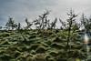 Nash - Sabre Larch Hill<br /> Sabre Larch Hill 2017-04<br /> David Nash (British, born 1945)<br /> Living American larch trees; 2013 -<br /> <br /> D299-2017  <br /> <br /> <br /> Frederic Meijer Gardens & Sculpture Park<br /> Grand Rapids, Michigan<br /> Taken October 26, 2017
