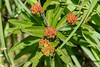 Colorful buds of Butterfly Weed