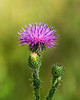 Thistle, possibly Scotch thistle