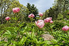 Peony Roselette (Bed 13-3ef)