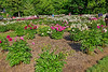 Bed 11 zz 2016 View from southeast to northwest (5f nearest)<br /> D155-2016<br /> Compare this with the 2015 version of the same orientation to see how much the various plants have grown.<br /> <br /> Peony Garden at Nichols Arboretum, Ann Arbor<br /> Taken June 4, 2016 (early am)