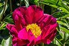 Peony Unknown 4-5cd