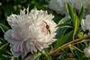 Bed 18 Jeanne Gaudichau (4ef)<br /> D162-2016<br /> <br /> Peony Garden at Nichols Arboretum, Ann Arbor<br /> Taken June 11, 2016