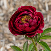 Rosedale peony (Bed 23)