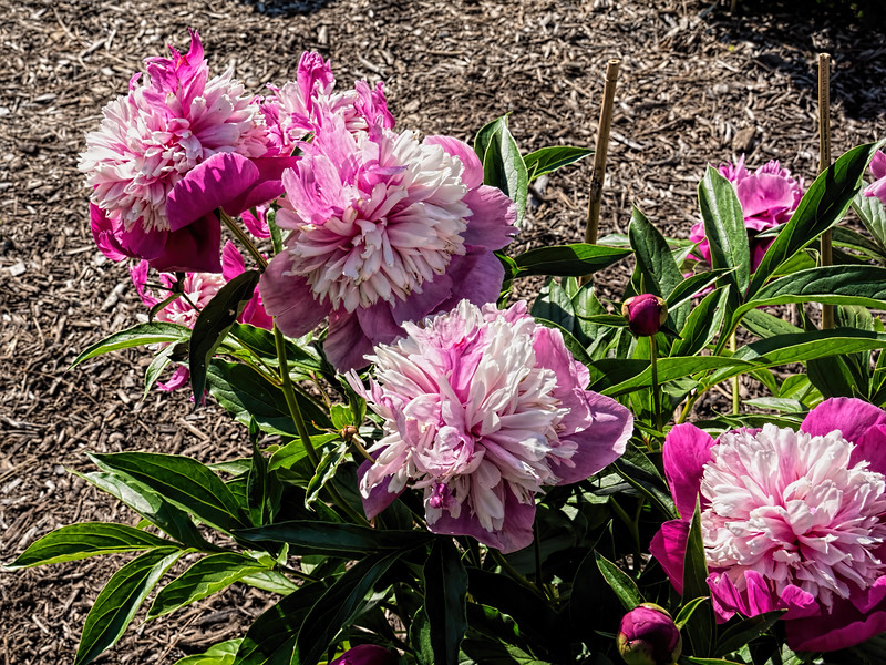 Unnamed Chinese peony (Bed 11)
