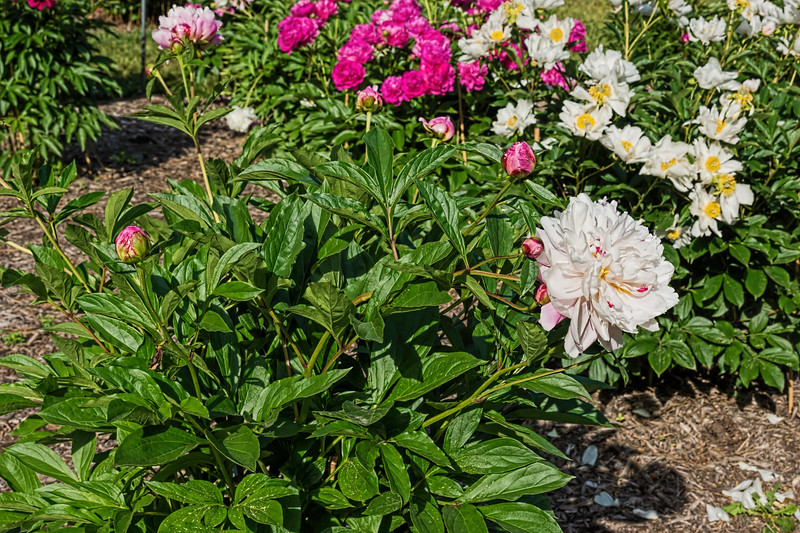 Bed 11 Fen Pan Cang Zhu (5d)<br /> D155-2016<br /> <br /> Peony Garden at Nichols Arboretum, Ann Arbor<br /> Taken June 4, 2016 (early am)