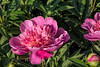 Kelway's Majestic peony (Bed 01), P. lactiflora