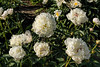 Grandiflora nivea plena peony (Bed 02)