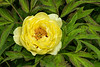 Greet your day with a bowl of sunshine - High Noon tree peony