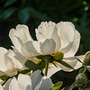 Albiflora the Bride peony (Bed 02), Albiflora x whitleyi