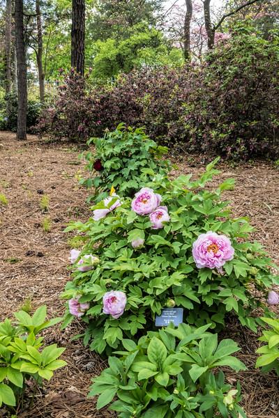 Plant Am - Anonymous pink tree peony
