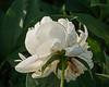 Peony Betty Blossom (6-5ab)