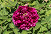 D128-2017<br /> This is the earliest peony that is in full bloom that I've found this year.  From its foliage and the shape of the buds, I deduce it is not herbaceous, but probably a woody or tree peony, which is consistent with the early bloom date.<br /> <br /> Steiner House, Geddes Avenue, Ann Arbor<br /> Taken May 8, 2017