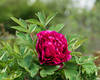 D126-2017<br /> Of the half dozen or so peonies planted in the front beds at this location, only this one appears to be a woody or tree peony.  It blooms early, even for tree peonies.<br /> <br /> <br /> Rudolf Steiner House, Geddes Avenue, Ann Arbor<br /> Taken May 6, 2017