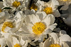 2017-05-01:  Albiflora the Bride peony (Bed 02), Albiflora x whitleyi