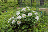 Plant Bz, white #1, unlabeled tree peony