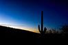 Saguaro greets the morning, Tucson