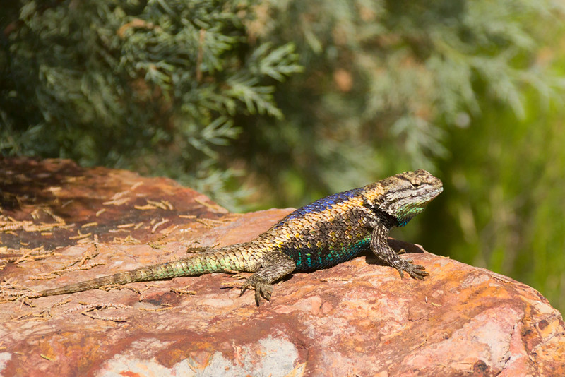 Desert spiny lizard showing his colors