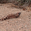 Gila monsters in battle