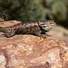 Desert Spiny Lizard looking for love