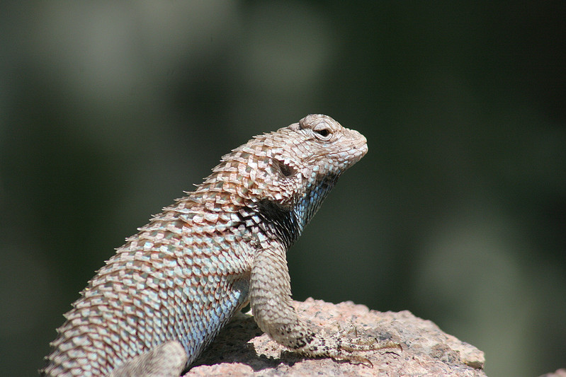 Lizard looking around