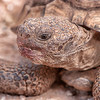 Up close desert tortoise