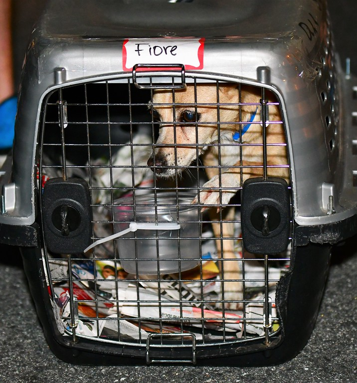 . A few of the pets waited for new homes after being offloaded from a private air carrier at Worcester Municipal  Airport Wednesday night. The pets were displaced by hurricane Maria in Puerto Rico.Sentinel & Enterprise / Jim Fay