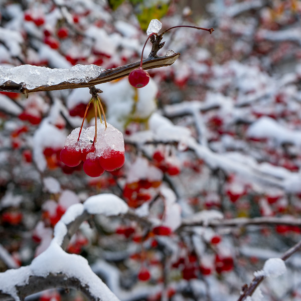 November berries on ice