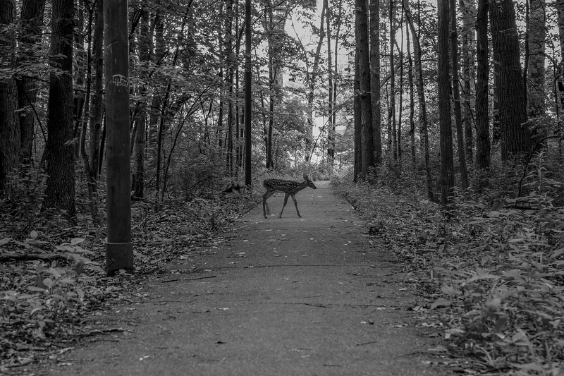 Dear Urban Deer BW