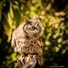 Little Screech Owl; Desert Museum