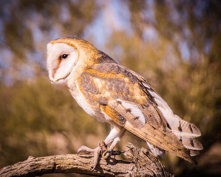 Barn Owl; Desert Museum