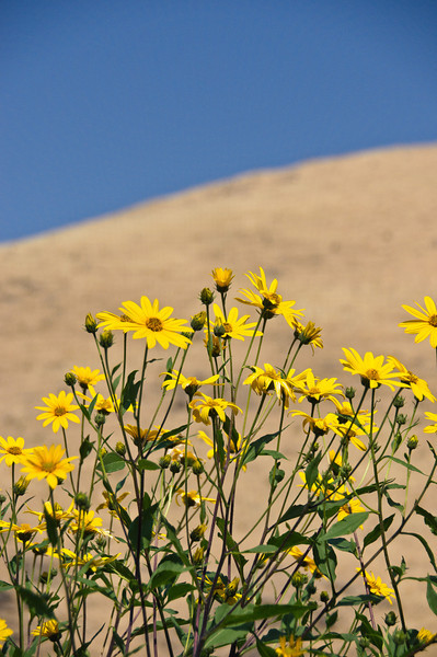 Daisies and the Hill
