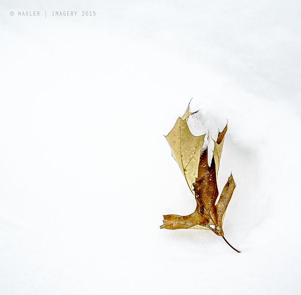 Brown Leaf; White Snow
