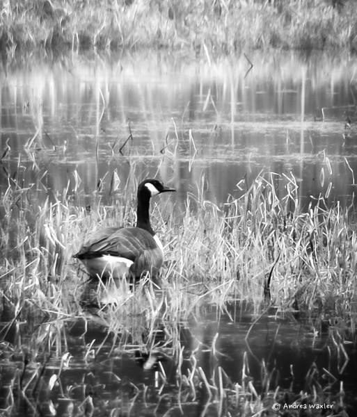 Lone Goose-Beaver Brook