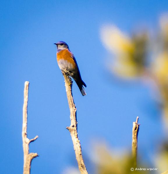Eastern Bluebird-Madera Canyon