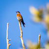 Eastern Bluebird-Madera Canyon