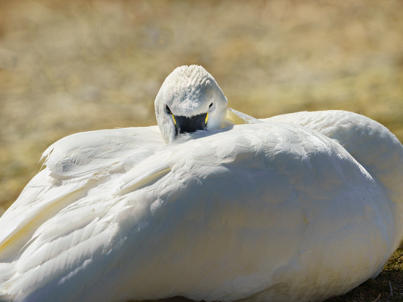 North American Tundra Swan or Bewick?