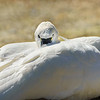 North American Tundra Swan or Bewick?