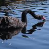 Black Swan; Cygnus stratus