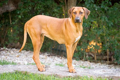 Reba the Rescue Ridgeback on the Wall