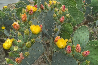 Prickly Pear Cacti in Bloom - San Antonio Apr 09