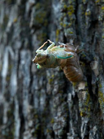 Cicada Locust