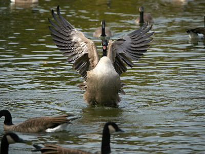 Geese Fall 2008