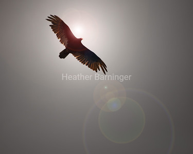 Turkey Vulture by Mentor Lagoons