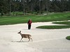 Deer slowing down play at Spyglass.