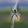 Garden spider with a spiral web